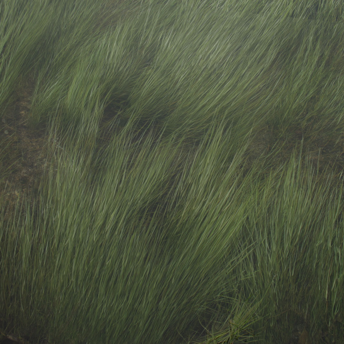 rivergrass